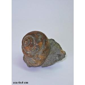 Fosil Natica Crassatina