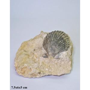 Fosil Pektenidna Školjka